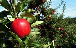 红色节目苹果 库存照片