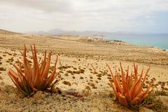 红色芦荟两棵植物在加那利群岛上的 免版税库存照片