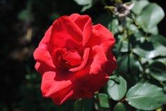 红色花上升了 库存照片
