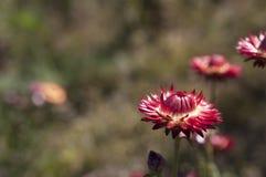 红色花和迷离背景 免版税库存照片