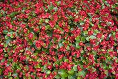 红色花喜欢地毯 免版税库存图片