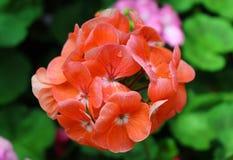 红色花在一个美丽的庭院里开花 库存图片