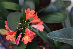 红色花在加利福尼亚庭院,自然里 免版税库存图片