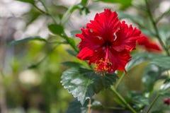 红色花在庭院、自然背景或者墙纸里 免版税图库摄影