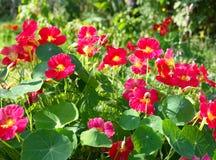 红色花在庭院里 库存图片