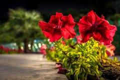 红色花在科威特 库存图片