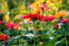 红色花在维多利亚` s Butchart庭院里 免版税库存图片