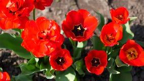 红色花在花园增长 股票录像