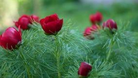 红色花在花园增长 影视素材