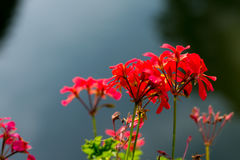 红色花在阳光下 免版税库存图片