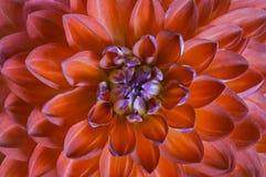 红色花大丽花关闭,顶视图 一朵红色花的宏指令 免版税库存图片