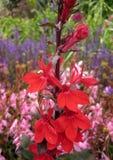 红色花宏观照片在桃红色和紫色树荫模糊的背景的  库存照片