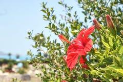 红色花开了花 库存图片
