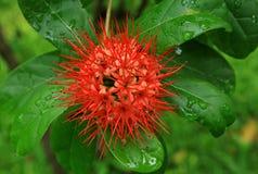 红色花或红色开花或夏威夷人Ohia lehua花 免版税库存照片