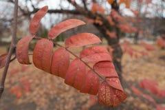 红色花揪叶子特写镜头在11月 免版税库存照片