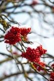 红色花揪被隔绝的特写镜头在用树冰报道的分支的反对蓝天在一个冬天晴天 免版税库存图片