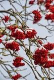 红色花揪被隔绝的特写镜头在用树冰报道的分支的反对蓝天在一个冬天晴天 免版税图库摄影