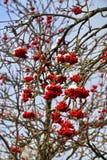 红色花揪被隔绝的特写镜头在用树冰报道的分支的反对蓝天在一个冬天晴天 免版税库存照片