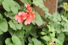 红色花是秀丽在庭院里 免版税库存图片