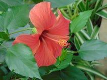 红色花木槿 库存照片