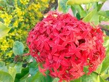 红色花束在热的高潮区域通常发现了 免版税库存照片