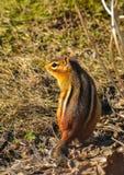 红色花栗鼠本质上摆在夏天光的 库存图片