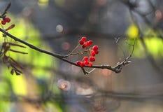 红色花楸浆果在一个10月下旬早晨点燃 免版税图库摄影