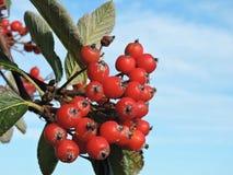 红色花楸浆果 库存图片