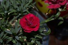 红色花特写镜头照片  康乃馨花 库存照片