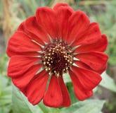红色花百日菊属特写镜头 库存图片