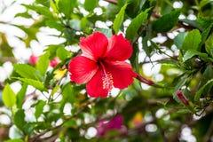 红色花的木槿选拔 图库摄影
