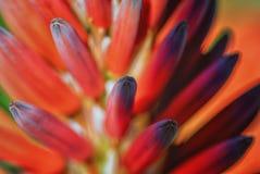 红色花的荧光的颜色 库存图片