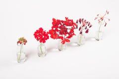 红色花行在玻璃瓶子的,从凋枯的绽放的周期 库存图片