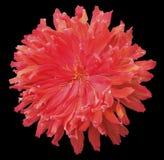红色花,染黑与裁减路线的被隔绝的背景 特写镜头 免版税库存照片