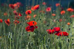 红色花,植物,红色鸦片,与鸦片,许多花,退色的植物,下垂的植物的领域,掺杂 库存图片