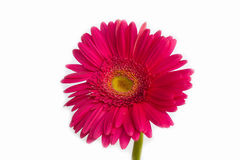 红色花,隔绝在白色背景 库存照片