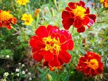 红色花绽放 库存照片