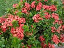 红色花结构树 免版税图库摄影