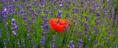 红色花 库存图片