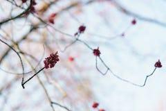 红色芽和叶子在晴朗的早晨特写镜头 免版税库存照片