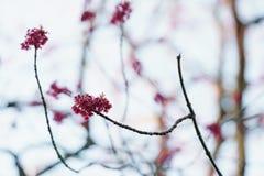 红色芽和叶子在晴朗的早晨特写镜头 库存照片