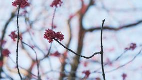 红色芽和叶子手扶的射击在晴朗的早晨特写镜头 免版税库存照片