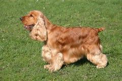 红色英国猎犬 免版税库存图片