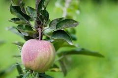 红色苹果和绿色叶子树枝,晴天果树园场面 农夫食物概念 软绵绵地集中 浅深度  库存图片