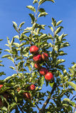 红色苹果在分支增长反对蓝天 免版税库存照片