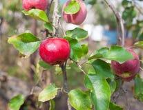 红色苹果在分支增长 图库摄影