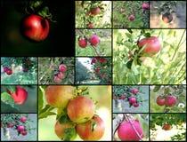 红色苹果在果树园 库存图片