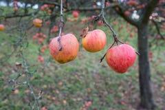 红色苹果在灰色11月 库存图片
