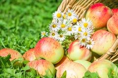 红色苹果在绿草的一个庭院里 免版税库存图片