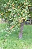 红色苹果的分行 免版税库存照片